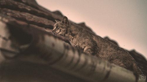 ivanilijevski cat