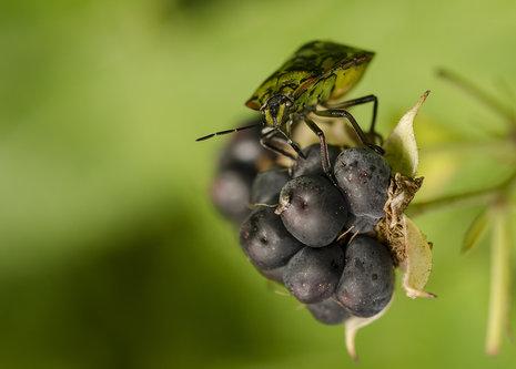 ivanilijevski bug