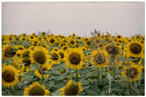 jovos sunflowers