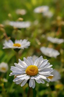 jovos just a daisy