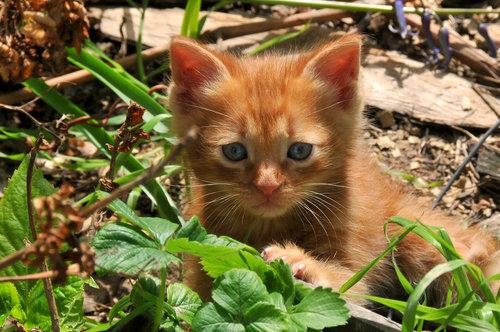 kaplar mala maca