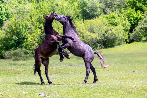 kosic Horses