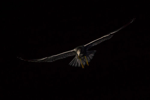 kosic Noćni letač.