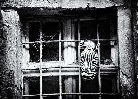 ladyjane uokvirena zebra