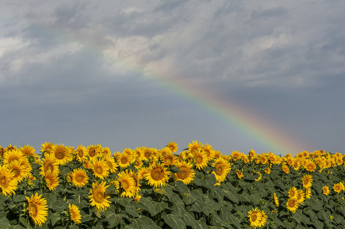 lapce Raimbow over sunflowers