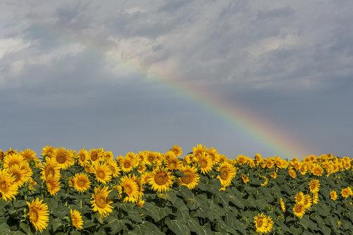 lapce Raimbow over sunflowers
