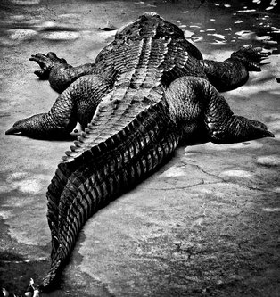 limbonic Aligator Muja