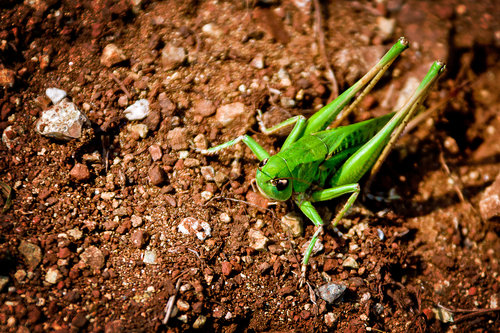 limbonic Green insects can jump