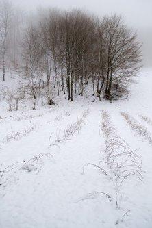 macvanin drvo i zasad, zimi