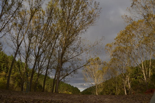 malagrasil Jesen u selu Biskuplje , Veliko Gradiste , Srbija