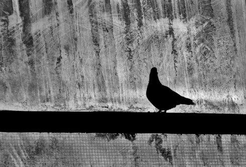 marjanac golub