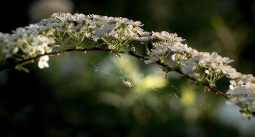 markoicela spider