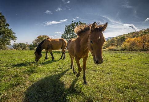 milantomin Konji