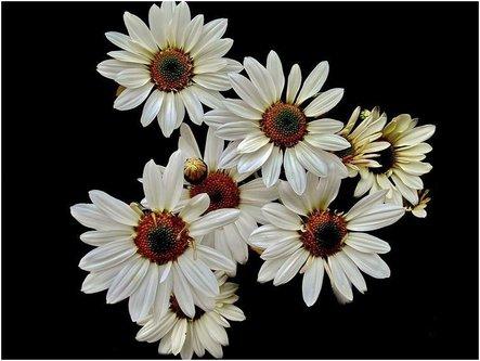 mitose Cvetovi