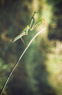mladenZec Praying Mantis