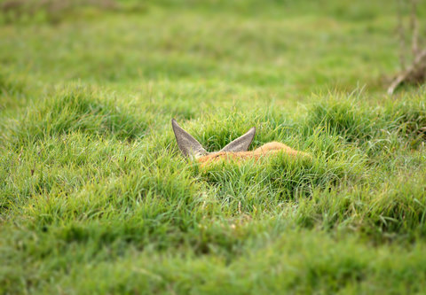 nagual deer sleeping.JPG