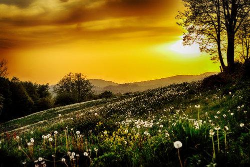 nagual field dandelion