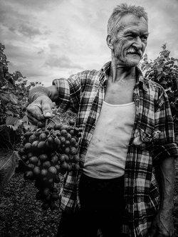 nemanjajapa Sremski vinogradar