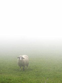 nikolasabelana Kao ovca u magli