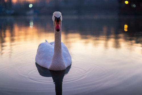 petarlackovic Angry swan