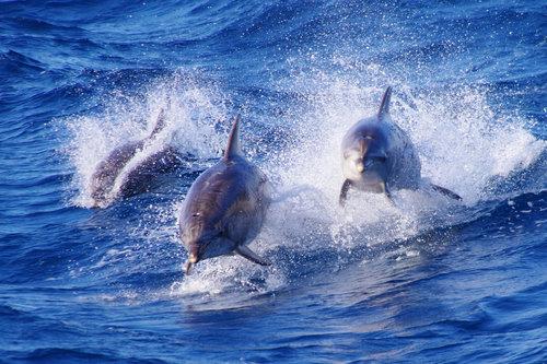 petarlackovic Delfini