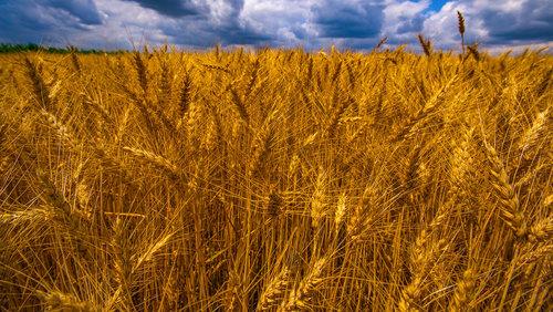 petarlackovic Polje pod pšenicom