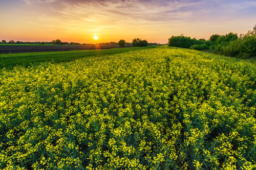 petarlackovic Polje u proleće