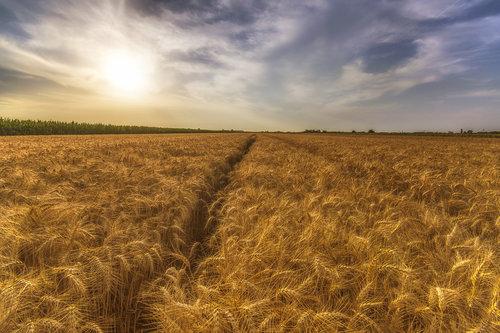 petarlackovic Zlatno polje