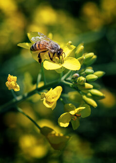 petarlackovic Na cvetu