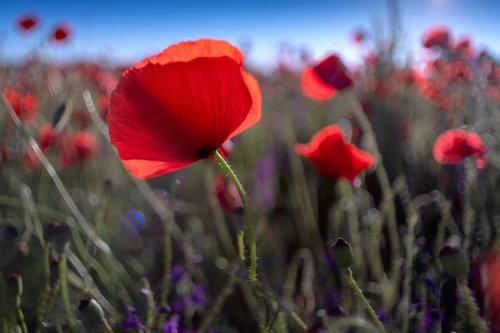 petarlackovic Poljsko cveće