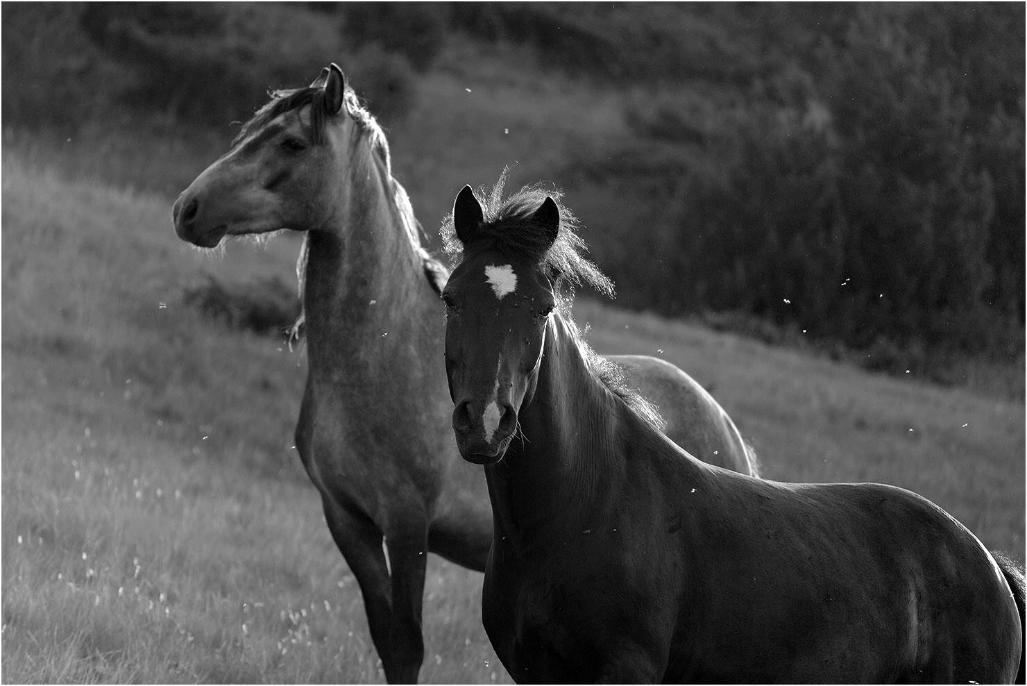 Jutarnje poze dva konja