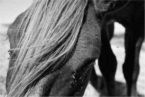 rabos Portret konja