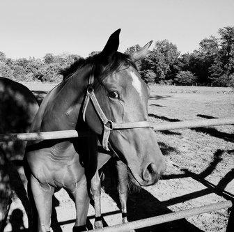 radovanovic Konj