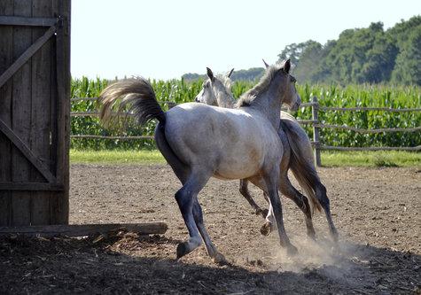 renatak konji