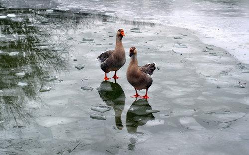 renatak na ledu