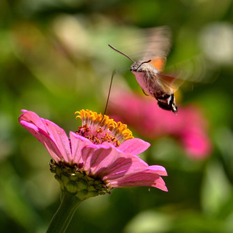 renatak kolibri leptir