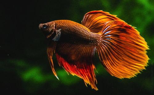 stalex Betta fish