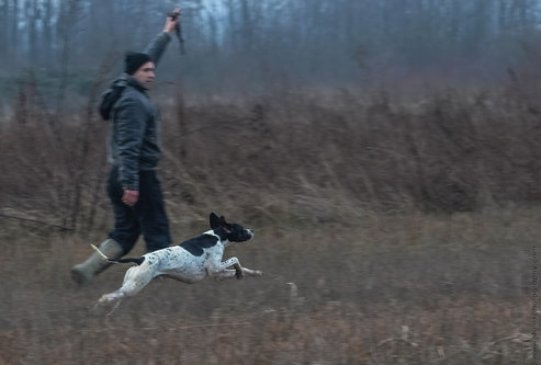 stalex English pointer