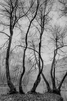 tajib darkwood