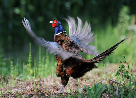 tomaabov Pheasant call
