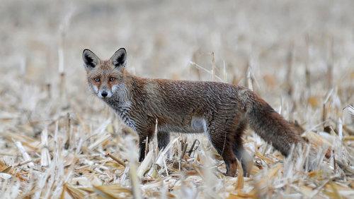 tomaabov lisica