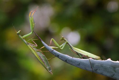 tomaabov Mantis