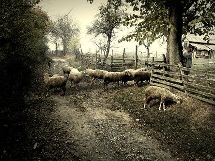 umornipesnik prica o zabludeloj ovci
