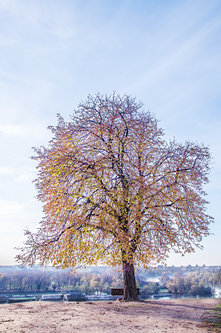 vemapn Drvo na Kalimegdanu 2017 6