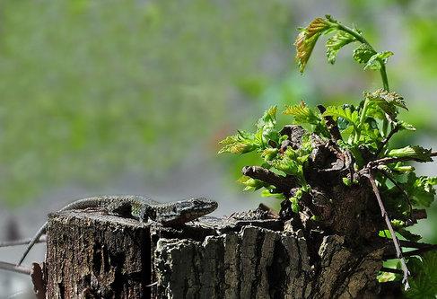 vetvet Lizard 05