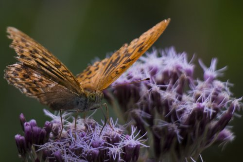 vukasin Krila leptira