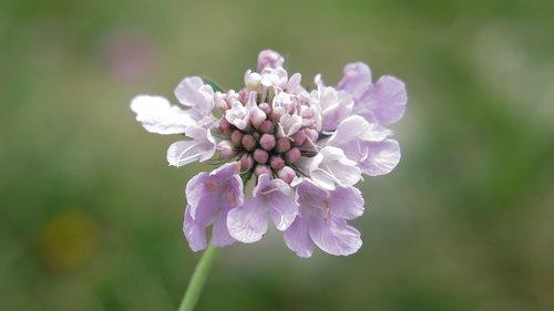 vukasin Običan cvet