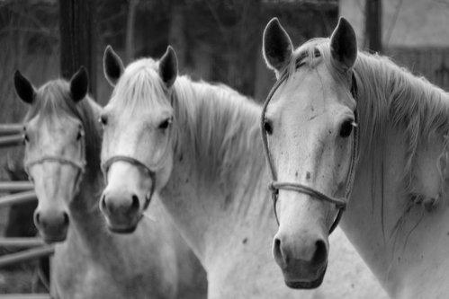 zonik White Horses